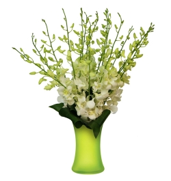 Send 10 Pcs. White Dendrobium Orchids to Bangladesh